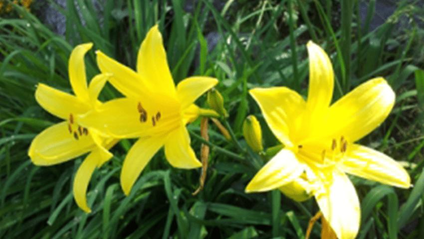 Kauniita keltasia kukkasia